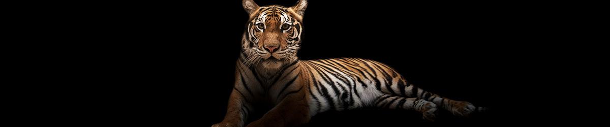 tiger-t-shirts-1600x250